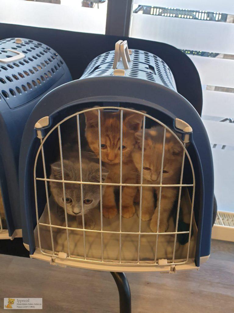 Kittens naar de dierenarts op laatste dag bij de cattery