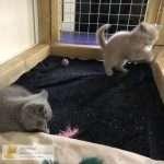 kitten kammen